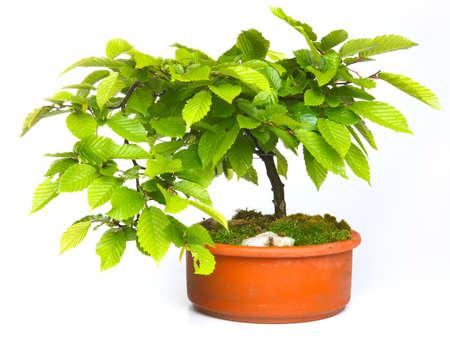 beech tree: Beech tree bonsai