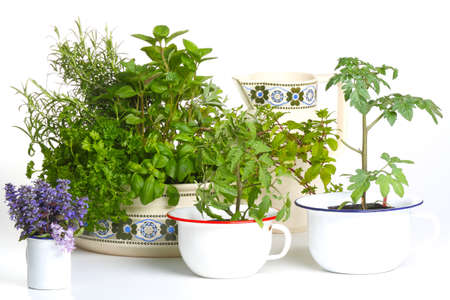 Herbs and tomato plants in front of white  Stockfoto