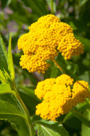 Fernleaf Yarrow, Yellow Yarrow photo