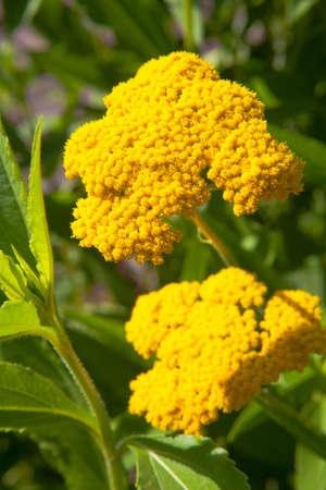 yarrow: Fernleaf Yarrow, Yellow Yarrow