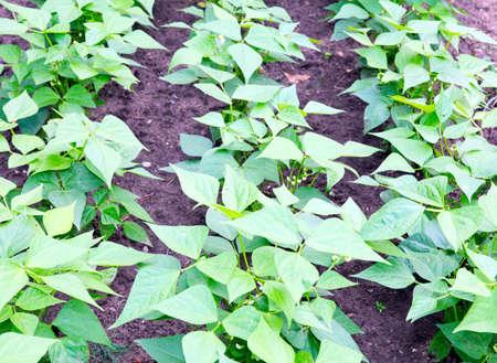 green bean plants Imagens