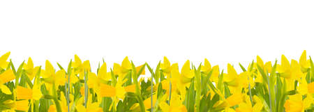 heralds: Daffodils against white background Stock Photo