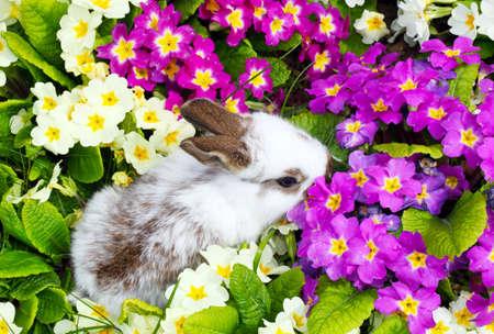 primroses: Easter bunny between primroses