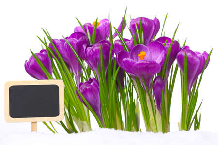 Crocuses with slate board for text photo