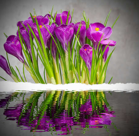 Thaw, crocuses are reflected in water  photo