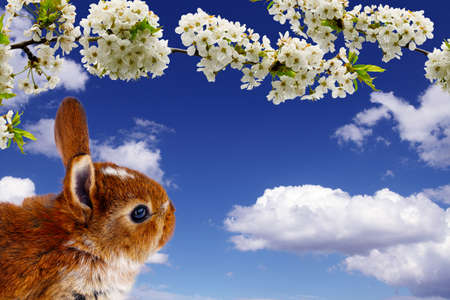 Easter bunny with cherry blossoms  photo