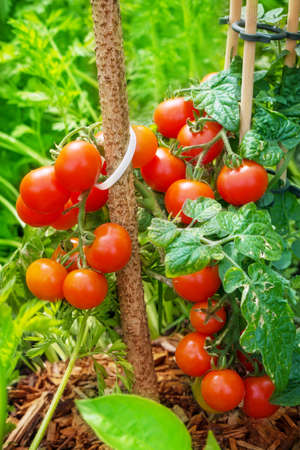 brush tailed: Tomatoes ripening in the garden  Stock Photo