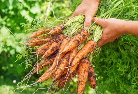 Frisch geerntete Karotten Standard-Bild - 30031301