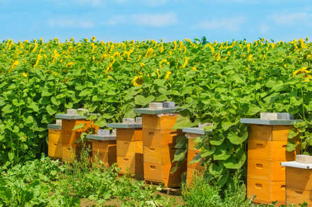 Bee houses at the sunflower field photo