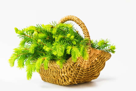Fir needlepoints in May, collected in the basket