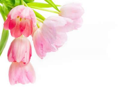 ピンクのチューリップ、白背景