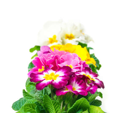 flowerpower: Colorful Primroses, row
