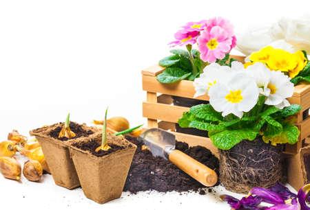 Primeln, Gartenarbeit, Frühlingsblumen Standard-Bild - 36673872