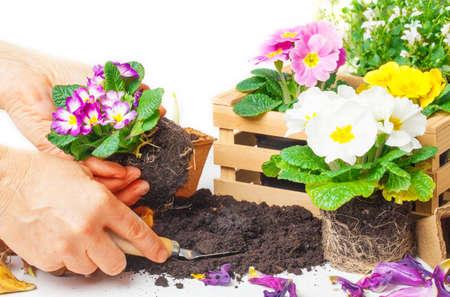 primroses: Plant primroses Stock Photo