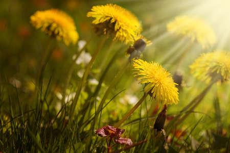 Dandelion meadow Standard-Bild