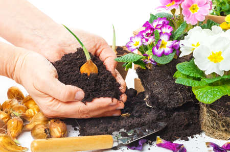 Plants, hands with potting soil and flower bulb