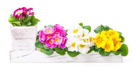 primroses: Primroses, spring decoration, flower decoration