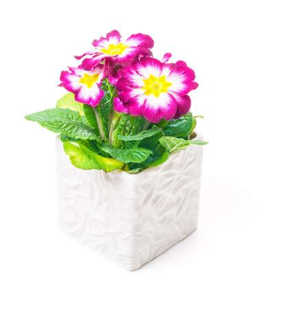 Primrose in flower pot holder, white photo