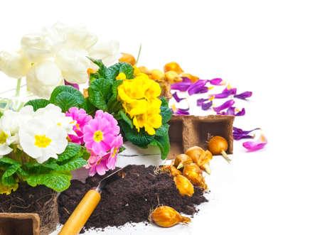 potting: Primroses, potting soil, petals