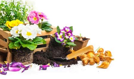 Primrose plant, gardening photo