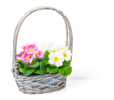 Flower basket with primroses photo
