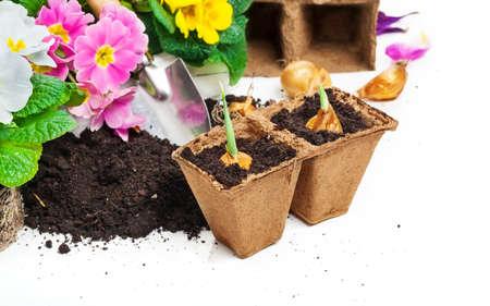 primroses: Flower bulbs, primroses