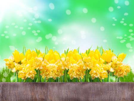 Daffodils, tulips, Bokeh
