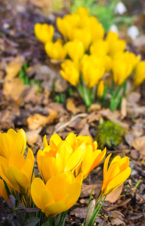 Yellow crocuses on forest floor