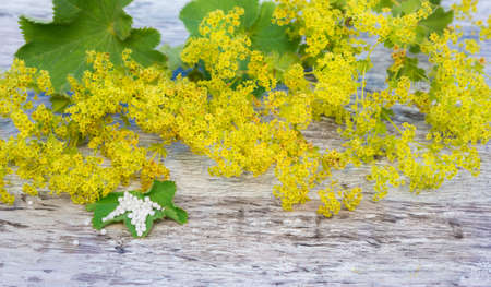 lady's mantle: Herb ladys mantle, globules Stock Photo