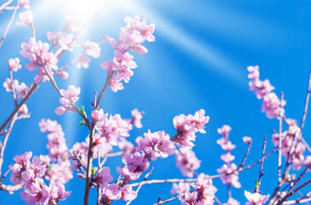 Peach blossoms in the sunshine