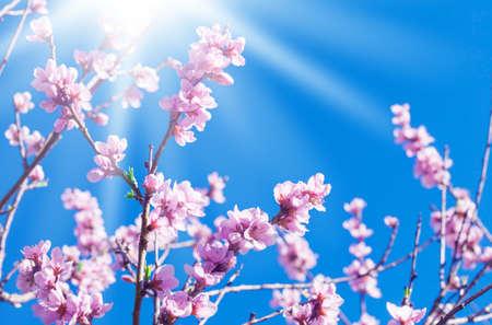 Pfirsichblüten in der Sonne Standard-Bild - 39078245