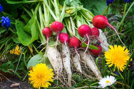 radishes: Radishes, turnips, harvest
