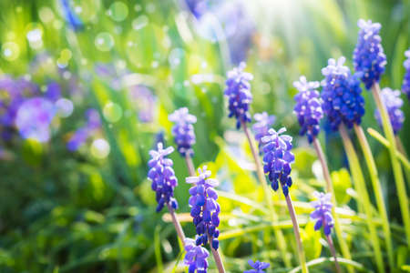 hyacinths: Grape hyacinths, Bokeh Stock Photo