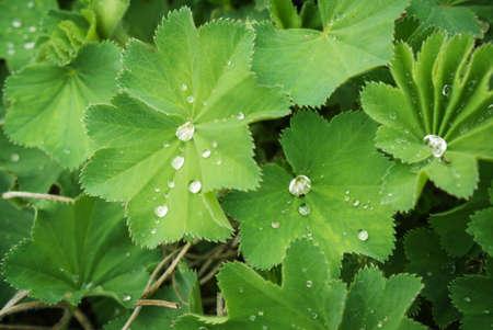 ladys mantle: Ladys mantle, medicinal plant
