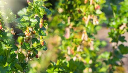 grosella: Arbusto de la grosella espinosa en la floración, brotes Foto de archivo