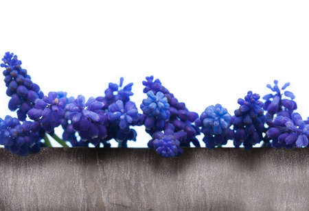hyacinths: Greeting Card, grape hyacinths isolated