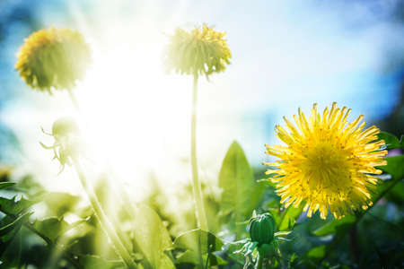 sol radiante: Diente de le�n en el sol