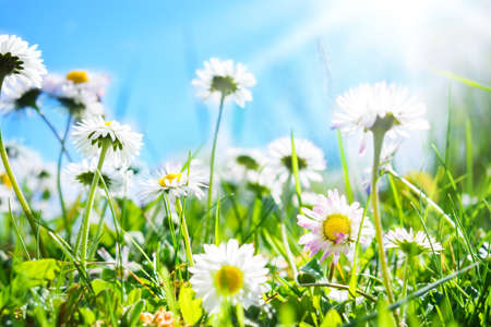 ヒナギクの花の草原