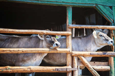 animal husbandry: Cows in the barn