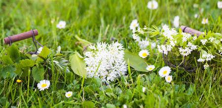 sweet woodruff: Wild garlic, sweet woodruff and other herbs on the meadow
