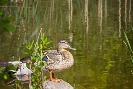 biotope: Duck on biotope