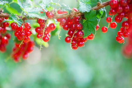 harvest time: Harvest time, currants Stock Photo