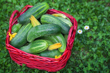 cucumbers: Pickling cucumbers, Cucumbers Harvest