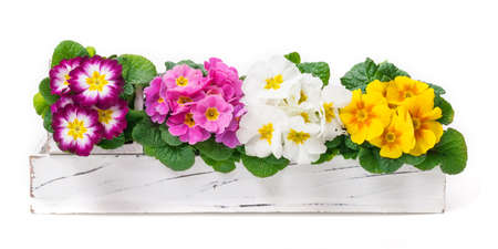 Primroses, spring decoration, flower decoration