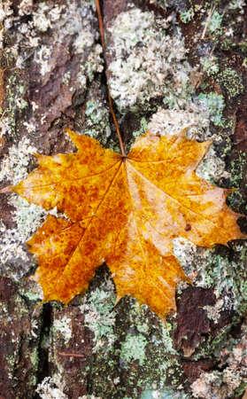 wood backgrounds: Leaf on tree bark