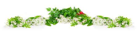 sweet woodruff: Wild garlic, sweet woodruff and radishes, isolated Stock Photo