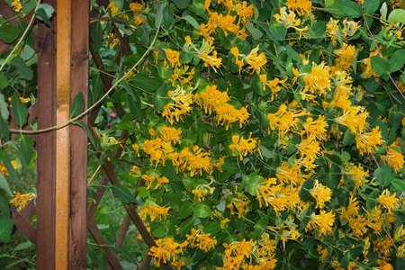 fragrant: Honeysuckle on Climbing lattice
