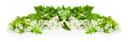 sweet woodruff: Wild garlic, sweet woodruff, lovage, isolated