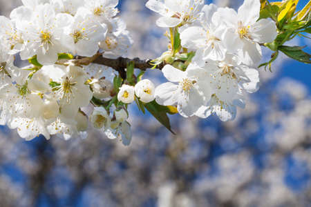 cerezos en flor: Cherry blossoms, cherry tree