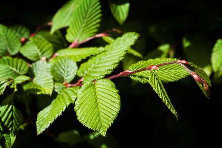 corylus: Green leaves, spring Stock Photo